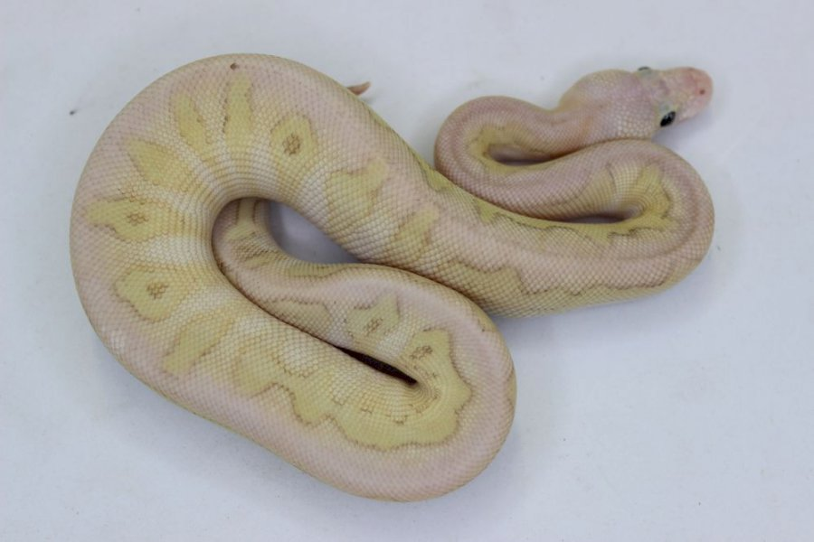Super pastel lesser clown X