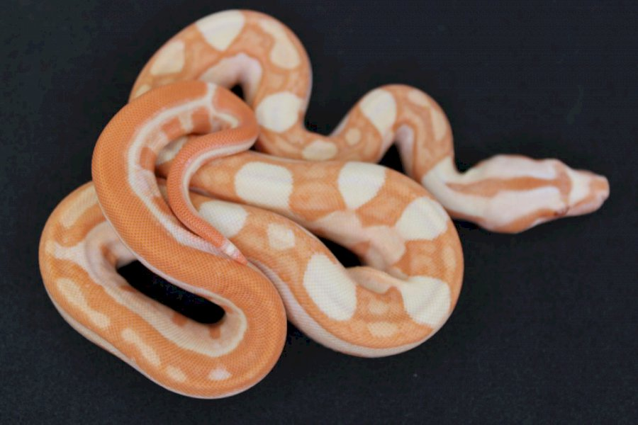 INDY MOTLEY SUNGLOW RED