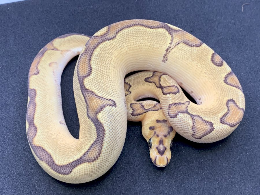 ENCHI FIRE CLOWN