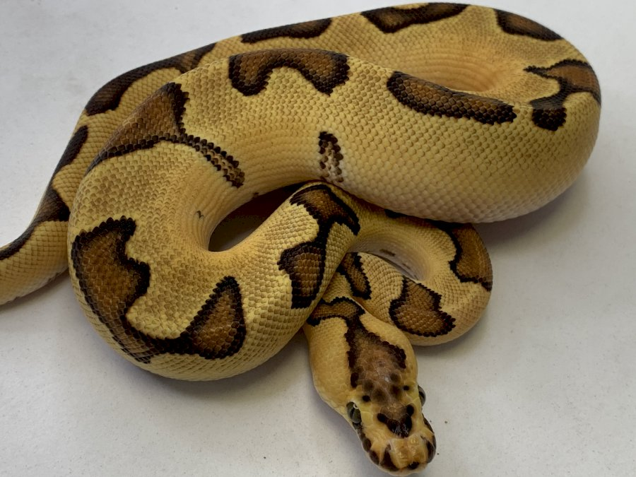 ENCHI FIRE CLOWN TIB